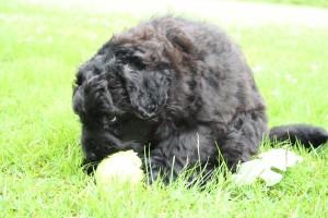 Pup Suri met bal
