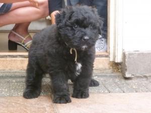 Layla als pup